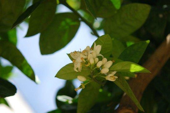 I fiori di zagara in giardino picture of antica corte - Giardino delle ninfee ...
