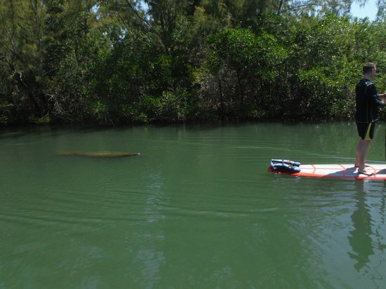 SUP Eco Adventures : Manatee following us during our tour
