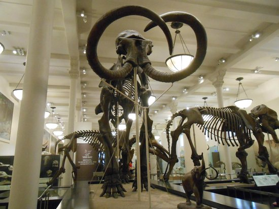 American Museum of Natural History : Wooly Mammoth