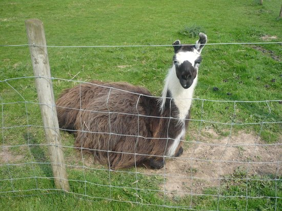 Lakemore Farm Park: One visible Llama