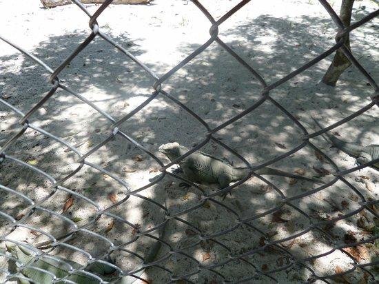 Puntacana Ecotours: Iguana enclosure