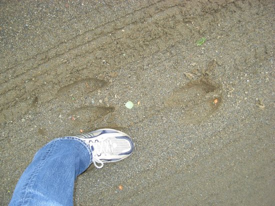 Connecticut Lakes Region : Moose Tracks compared to my foot