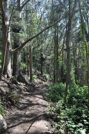 Mount Sutro Forest: Eucalyptus forest