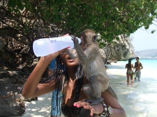 Phi Phi Villa Resort : Monkey Island, they were so tame.