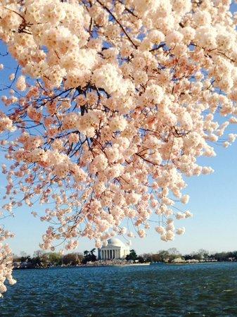Jefferson Memorial: Cerejeira em flor com o monumento ao fundo