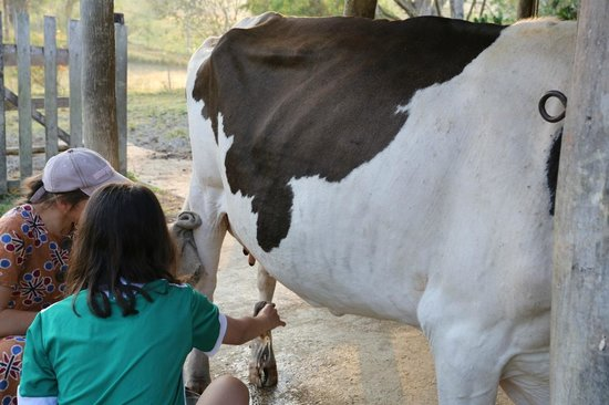 Cool M Farm: Milking one of the cows