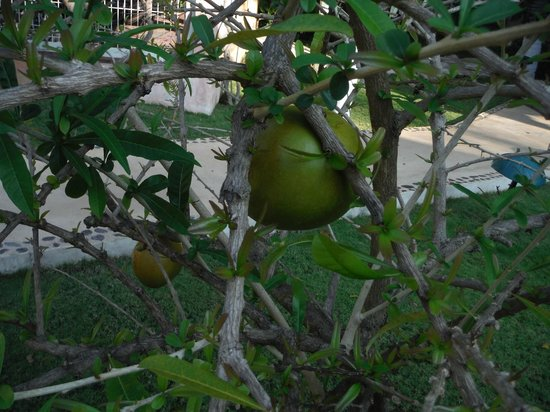 Hotel Posada Sian Ka'an: Fruit in garden