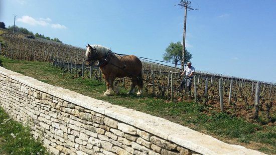 Authentica Tours : Horse ploughing the Romanee-Conti  Vineyard