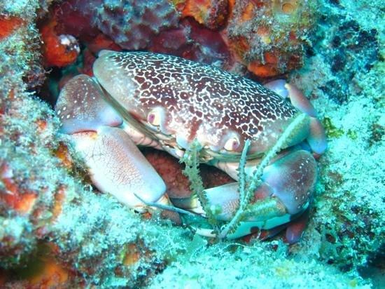 Dive BVI: Reef Crab