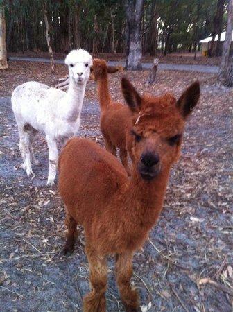 Margaret River Hideaway & Farmstay: The farm alpacas
