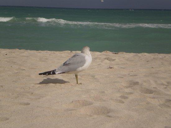 Deauville Beach Resort: gaviotas