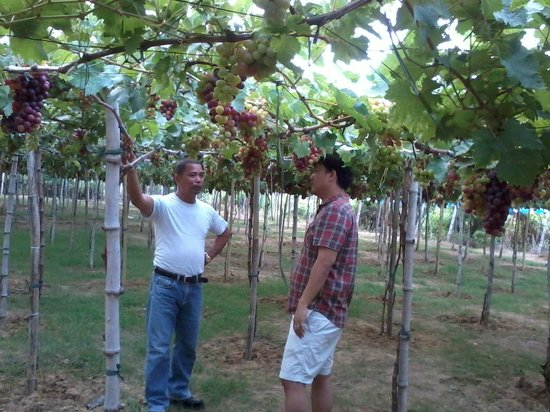 Bauang, Filipinas: Grape lecture during farm tour
