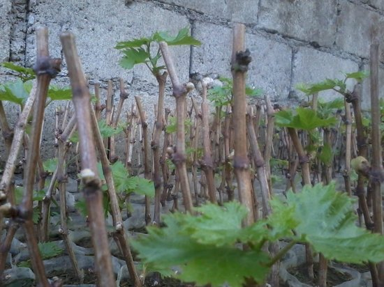 Bauang, Filippinene: Grape cuttings for sale