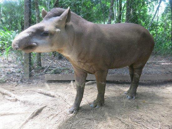 Comunidad Inti Wara Yassi: Herbie the herbivore (aka tapir)