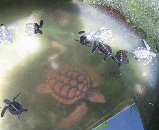 Μπεντότα, Σρι Λάνκα: Loggerhead turtle