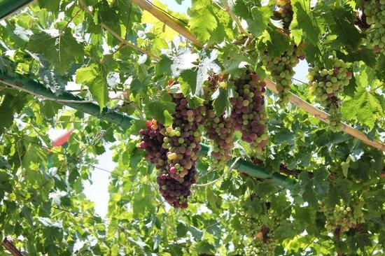 Las Millanas: grapes