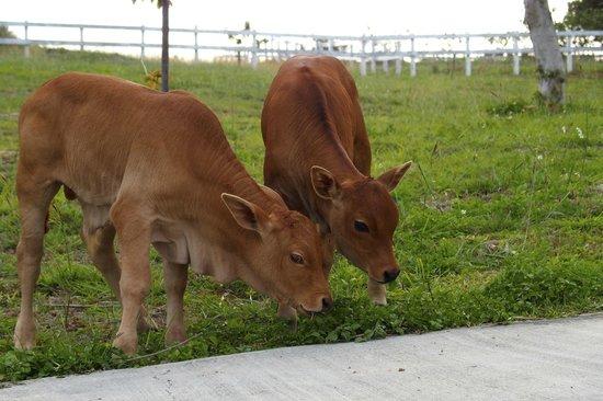 Ocean Paradise Resort: Baby cows