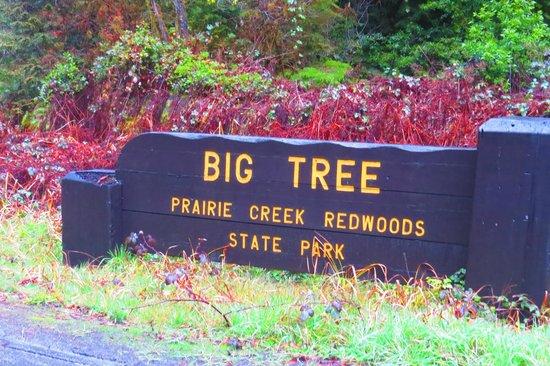 Orick, CA: Big Tree