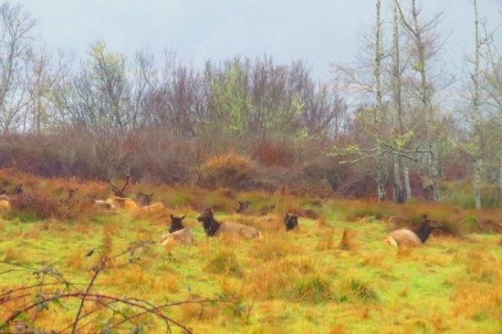 Prairie Creek Redwoods State Park: Elks at Rest