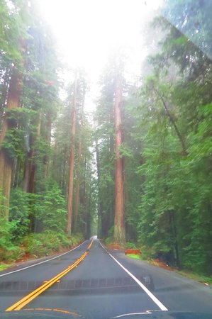 Avenue of the Giants : Can't See for Trees !
