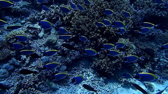 Angsana Ihuru : Blue Surgeon Fish