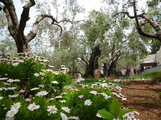 Garden of Gethsemane: дивный сад