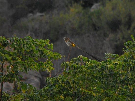 Makapa Lodge: Cape Sugarbird (Male)
