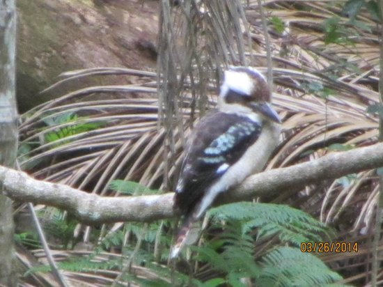 Tamborine Rainforest Skywalk: Kookaburra