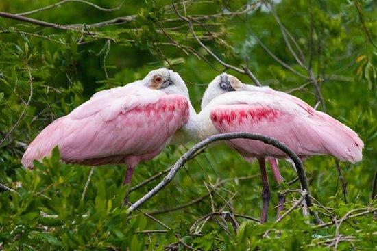St. Augustine Alligator Farm Zoological Park : Roseate Spoonbills