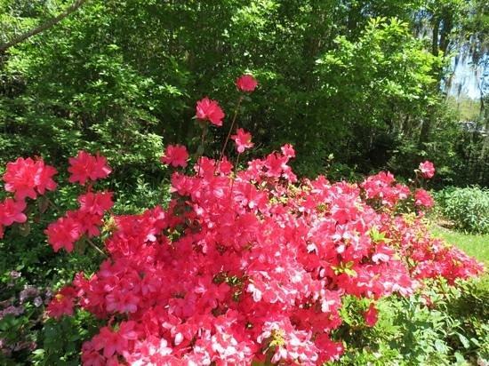 Magnolia Plantation & Gardens: Azaleas