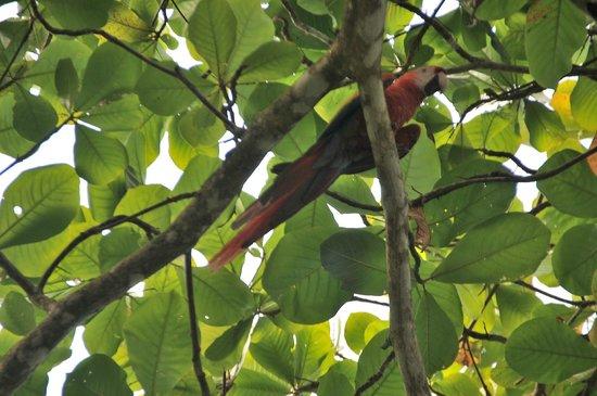 Corcovado National Park: Ara Macao