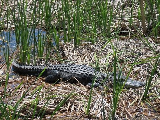 Magnolia Plantation & Gardens: large gator in the old rice field, as seen from the boat tour