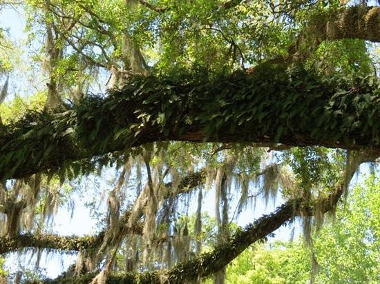 Magnolia Plantation & Gardens: resurrection fern