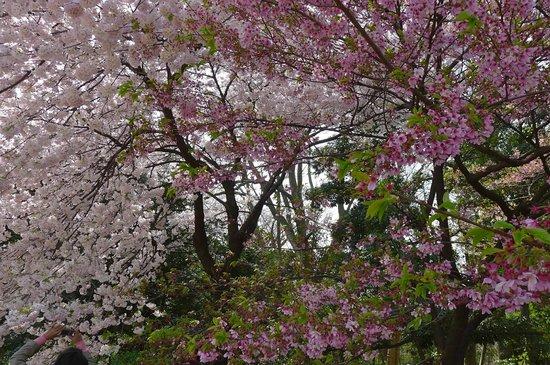 Shinjuku Gyoen National Garden: Sakura in full bloom