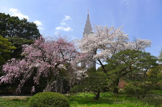 Shinjuku Gyoen National Garden: Different varieties of Sakura amidst the backdrop of federal buildings in Shinjuku