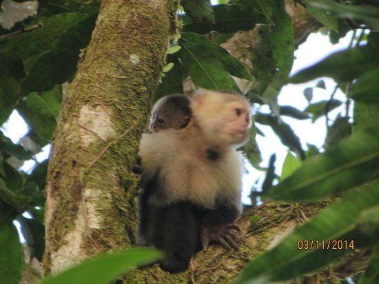 Evergreen Lodge: White faced monkey and her baby