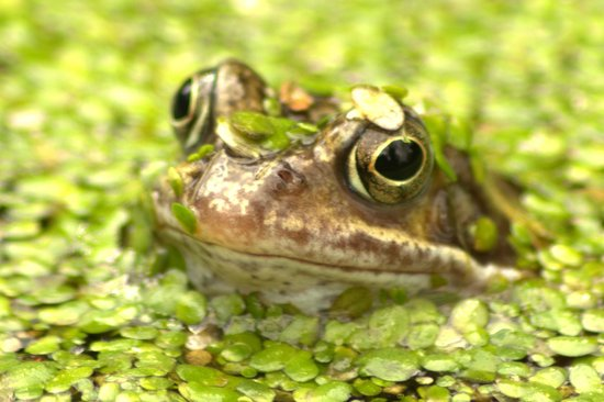 Churchill Gardens: Frog in a Pond
