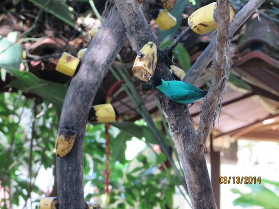 La Quinta Sarapiquí Lodge: Birds on the fruit tree