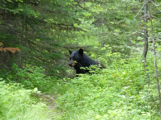 Moonrakers, Golden, Bc: A beautiful black bear sitting on the trail.