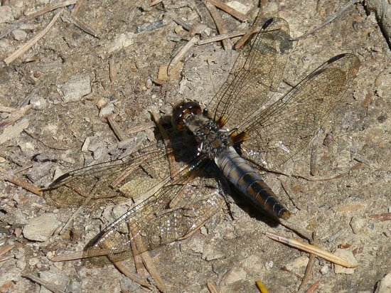Moonrakers, Golden, Bc: A dragon-fly enjoying the morning sunshine.