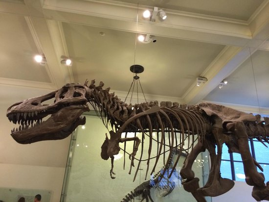 American Museum of Natural History : The T-Rex