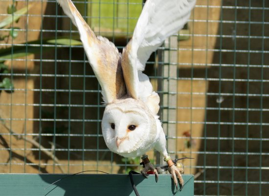 Swinton Park : Owl flight