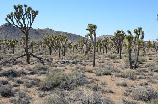 Joshua Tree National Park: Scenic Landscape