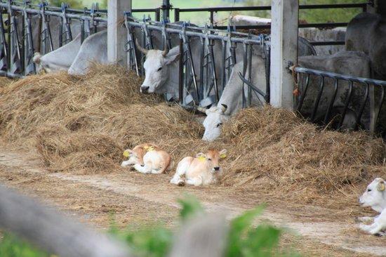 Agriturismo Ca' Maddalena : Allevamento bovini dell'Agriturismo