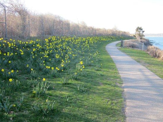 Cliff Walk: Daffodils in bloom in April