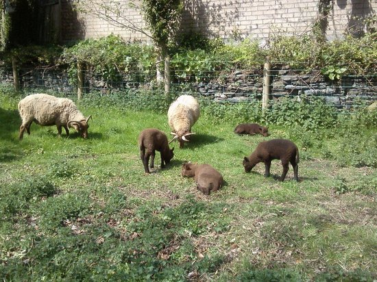 Grove Museum of Victorian Life: Loaghtan sheep and lambs.