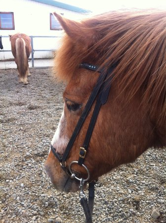 Islenski Hesturinn, The Icelandic Horse - Riding Tours: Sweet Blissi Minn :-)