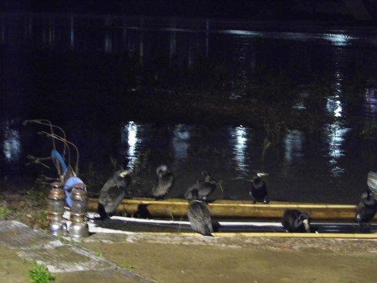 Cormorant Fishing : Birds before fishing started