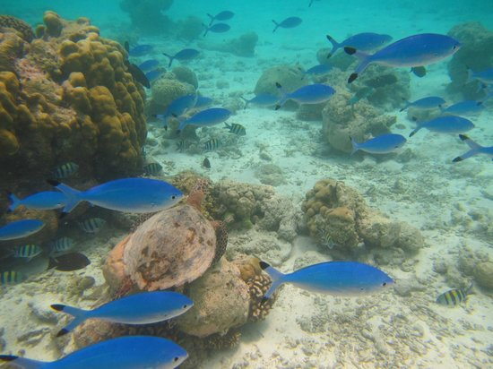 Constance Moofushi: Snorkling with turtles on the house reef