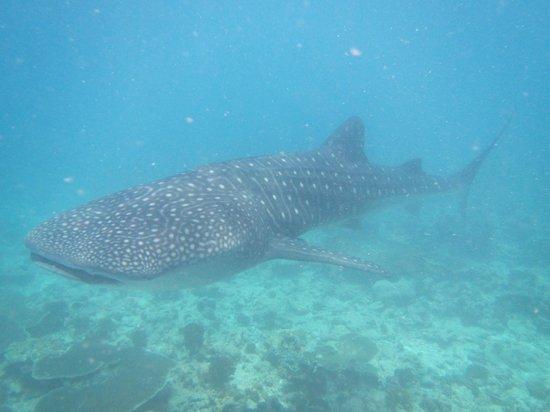 Constance Moofushi: Whale shark